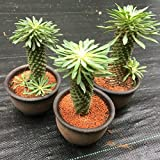 多肉植物:ユーフォルビア 峨眉山鉄甲 陶器鉢*8cm
