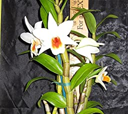 2-plants- Dendrobium Lori\'s star -EASY To GROW! FRAGRANT! Attractive!- Orchid plant