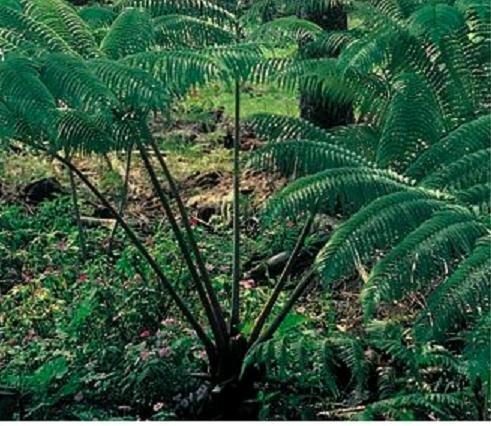 Hawaiian Tree Fern