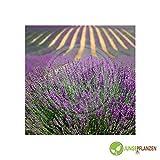 Kräutersamen - Lavendel echter