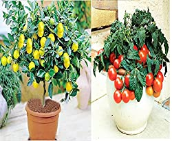 Bonsai Lemon Tree Seeds +Hybrid Cherry Tomato Seeds , Sold By Variety House