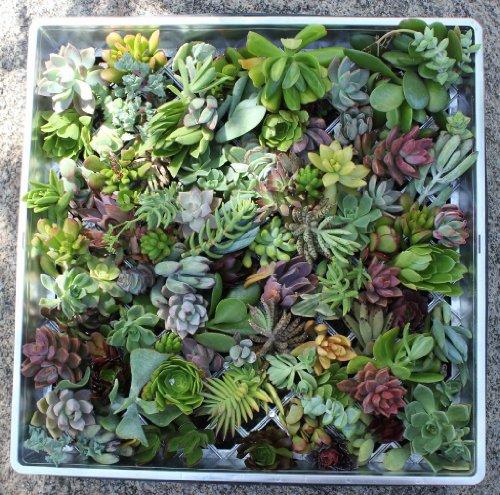 100 (40 varieties) Succulent CUTTINGS great for Vertical Gardens & wreaths & topiaries
