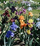 Bearded iris Mixed 10 rhizomes