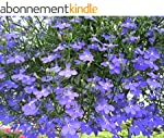 Lobelia erinus (English Edition)