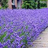 20 x Lavender Munstead Plants, well grown and rooted 7cm