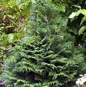 Soft Serve® False Cypress - Chamaecyparis - Proven Winners