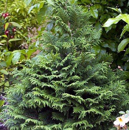 Soft Serve False Cypress - Chamaecyparis - Proven Winners