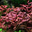 Ludwigia sp. Mini \'Super Red\' Live Aquarium Freshwater Plants Rare Repens Rubin