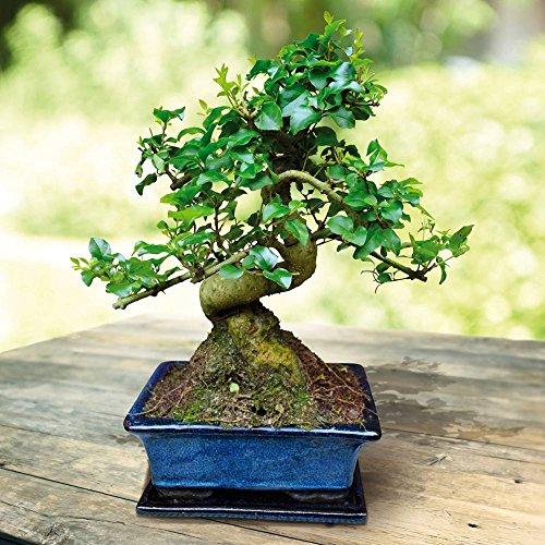 liguster bonsai 7 jahre 1 baum. Black Bedroom Furniture Sets. Home Design Ideas