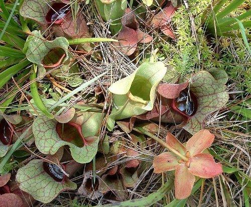 10 CARNIVOROUS PURPLE PITCHER PLANT (Turkish Red / Northern) Sarracenia Purpurea Flower Seeds (Plant Pitcher compare prices)