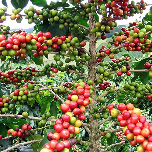 Hirts-Arabica-Coffee-Bean-Plant-35-pot-Grow-Brew-Your-Own-Coffee-Beans