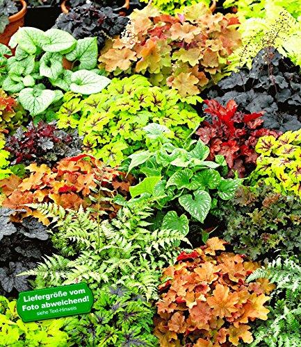 baldur garten winterharter bodendecker blattschmuck rarit ten mix 5 pflanzen athyrium heuchera. Black Bedroom Furniture Sets. Home Design Ideas