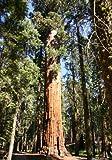 TROPICA - Riesen-Mammutbaum  - 110 Samen