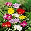 Freesia single flowering mix - 20 flower bulbs