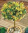BALDUR-Garten Immergr�n Osmanthus-St�mmchen Duftbl�te, 1 Pflanze