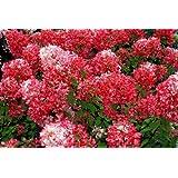 Rispenhortensie Diamant Rouge, 1 Pflanze