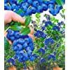 Trauben-Heidelbeeren 'Reka® Blue', 1 Pflanze, Vaccinium corymbosum