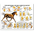 Equine Forelimb Joint and Ligament Anatomical Chart Laminated