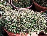 【種子】Euphorbia Decaryi spirosticha★ユーフォルビア スピロスティカ [並行輸入品]