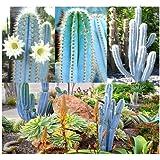 30 x BLUE Cactus Mix - RARE Pilosocereus CACTUS Seeds - GORGEOUS BLUE - COLLECTOR DREAM - Makes EXCELLENT House Plants