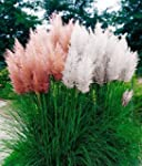Grow Your Secret Garden Cortaderia Se...