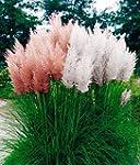 Grow Your Secret Garden Cortaderia Se...