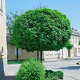 Amazon.de Pflanzenservice Hausbaum Kugel-Ahorn
