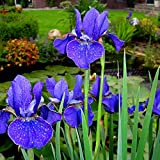 Iris sibirica Deep Blue - 3 plants