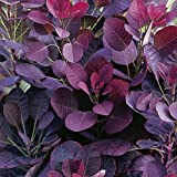 Cotinus coggygria ' Royal Purple' 19cm Pot Size