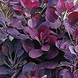 Cotinus coggygria 'Royal Purple' 15cm Pot Size