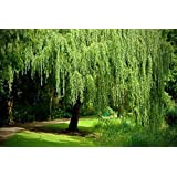 4 Golden Weeping Willow Trees - Ready to Plant