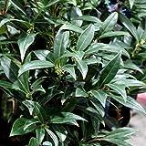 サルココッカ:ウィンタージェム5号ポット[冬に咲く香りの花 グランドカバーに人気の常緑低木]