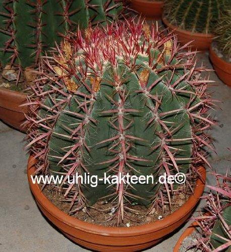 Ferocactus stainesii Solitär 23 cm