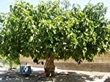 Winterharter Feigenbaum Ficus carica Brown Turkey mit eßbaren Früchten 1