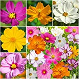 "Package of 400 Seeds, Cosmos ""Crazy Mixture"" (Cosmos sulphureus & bipinnatus) Non-GMO Seeds By Seed Needs"