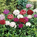 Go Green Dianthus Mixed-50 Seeds