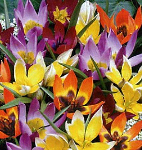 Deer Resistant Tulips