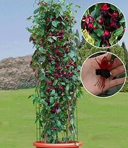baldur garten kletter fuchsie 39 lady boothby 39 2 pflanzen fuchsia. Black Bedroom Furniture Sets. Home Design Ideas