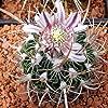 Paquet 10 Graines Echinofossulocactus (en mélange)