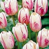 Tulipe Simple Tardive Sorbet - 10 bulbes de fleurs
