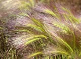 Foxtail Grass Aquatic Plant Seeds by National Gardens