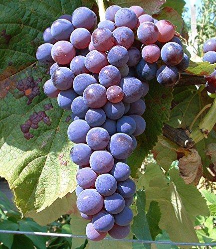 baldur-garten-kernlose-tafel-trauben-venusr-weinreben-1-pflanze-vitis-vinifera