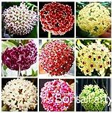 セール!ホヤの種子、鉢植えシードHOYA carnosaの花の種家庭菜園、100個/ロット、#のUGYUX5