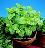 Potted Plants: Herbs. Lemon Balm. 1 Litre Pot Size