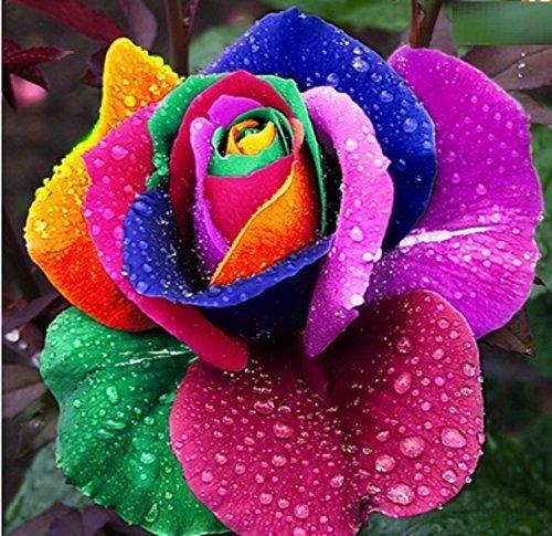rosa-colores-del-arco-iris-10-semillas