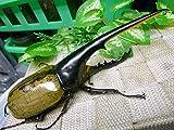 山陽オオクワ倶楽部 大型血統ヘラクレスオオカブト 生体 (♂153、♀71ミリペア 02)