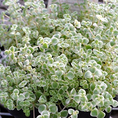 Miniature Fairy Garden Stonecrop, Little Missy, Stonecrop