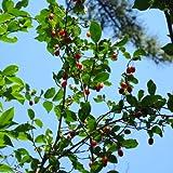 グミ:ナツグミ3.5号ポット[一才グミ・夏茱萸 夏に結実する紅色の小果][苗木]