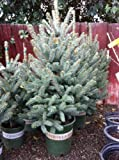 Colorado Blue Spruce &quot;Fat Albert&quot; Potted Five Gallon Tree