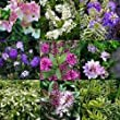 5 x HEBE IN 9CM POTS HARDY EVERGREEN QUALITY SHRUBS MIXED HEBES